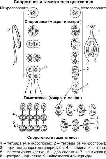 Спорогенез и гаметогенез цветковых