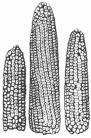 Гетерозисная кукуруза