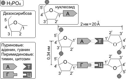 Длина нуклеотида днк, последовательность нуклеотидов в цепи днк