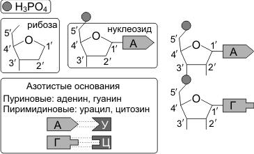 Днк рнк схема строения