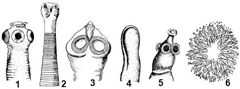 Головки ленточных червей