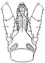 Ротовые органы самки иксодового клеща