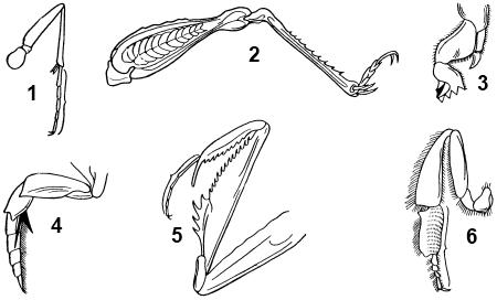 Типы ножек насекомых
