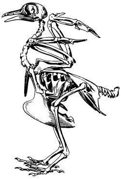 Скелет голубя