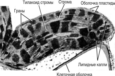 Хлоропласт листа кукурузы