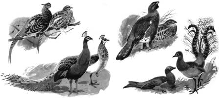 Половой диморфизм у птиц: фазан, павлин, глухарь, лирохвост