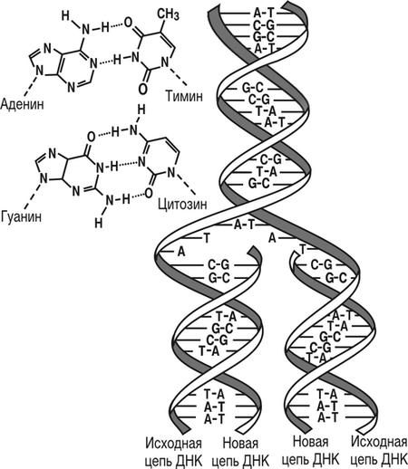 Схема строения ДНК