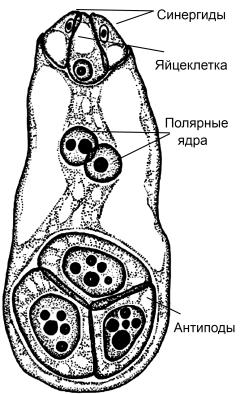 гаметофит