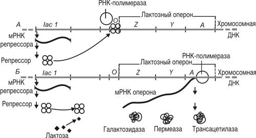 Схема строения лактозного оперона