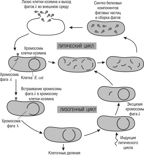 Жизненный цикл умеренного фага