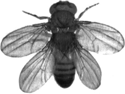 Мутация у дрозофилы - четыре крыла