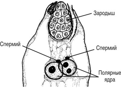 Партеногенез у мятлика