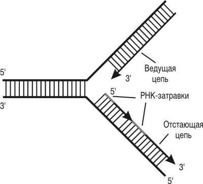 Схема строения репликационной вилки