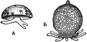 Раковинные амебы (вид сбоку)