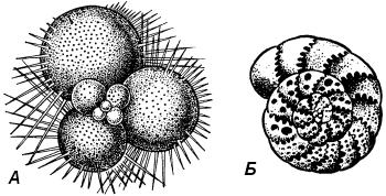 Фораминиферы