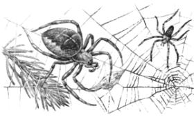 Паук-крестовик (Araneus diadematus)