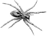 Тарантул (Lycosa sp.)