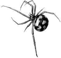 Каракурт (Latrodectus tredecimguttatus)