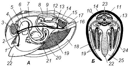 Схема внутреннего строения двустворчатого моллюска.