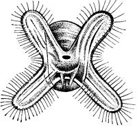 Личинка двустворчатых моллюсков - велигер.