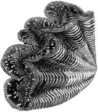 Тридакна гигантская (Tridacna gigas).