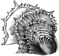 Жемчужница (Pinctada sp.).