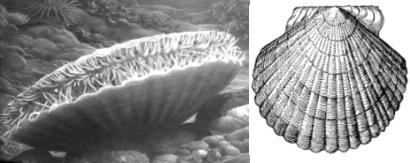 Гребешок (Patinopecten yessoensis).