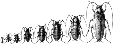 Неполное превращение рыжего таракана (Blattella germanica)