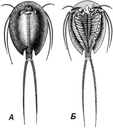 Щитень ( Triops cancriformis)