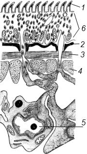ленточные паразиты у человека