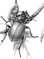 Красотел пахучий (Calasoma sycophanta)