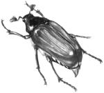 майский жук западный (Melolontha melolontha)