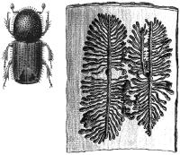 Короед-типограф (Ips typographus)