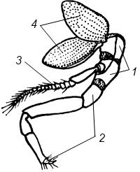 Схема строения конечностей ракообразного