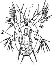 Науплиус - личинка циклопа.