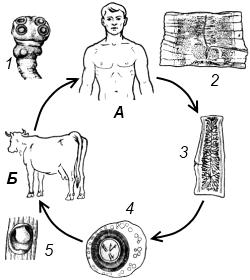 Схема жизненного цикла бычьего цепня