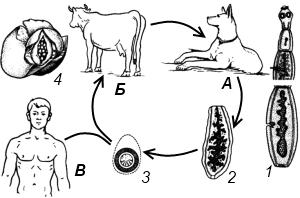 Схема жизненного цикла эхинококка