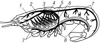 Схема строения кровеносной системы речного рака