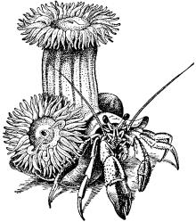 Рак-отшельник (Eupagurus sp.)