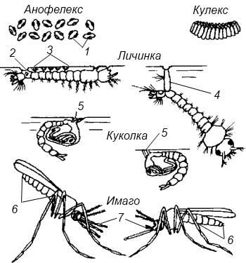 Отличительные признаки малярийного и обыкновенного комаров