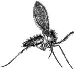 Москит (Phlebotomus sp.)