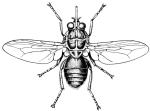 Муха це-це (Glossina palpalis)