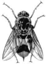 Овод подкожный бычий (Hypoderma bovis)