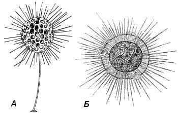 Солнечники