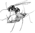 Наездник (Aphelinus sp.)