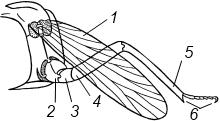 Схема строения конечности насекомого