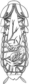 Схема строения дыхательной системы черного таракана