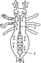 Схема строения кровеносной системы черного таракана