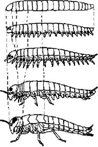 Схематическое изображение гипотетических стадий в развитии различных отделов тела и его придатков от червеподобного предка до насекомого