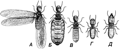 Туркестанский термит (Acanthotermes turcestanicus).